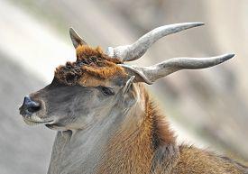 foto of eland  - Closeup portrait of a common eland resting in its habitat - JPG