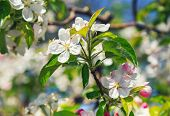 stock photo of apple blossom  - A blooming branch of apple tree - JPG