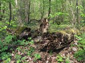picture of fallen  - old fallen trunk of tree covered with moss - JPG