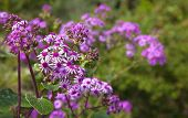 picture of may-flower  - Pericallis webbii commonly known as May flower flowering plant native to Gran Canaria flowers in Barranco de Moya - JPG