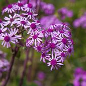 stock photo of may-flower  - Pericallis webbii commonly known as May flower flowering plant native to Gran Canaria flowers in Barranco de Moya - JPG