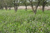 picture of orchard  - Young orchard in Mazowieckie province - JPG