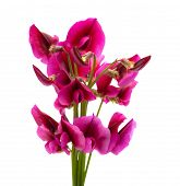 foto of sweetpea  - flora of Gran Canaria Tangier pea isolated on white background - JPG