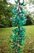 picture of jade blue  - Jade Vine, Strongylodon macrobotrys Botanical Garden, Maui, Hawaii, USA - JPG