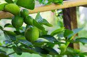 picture of lime  - green lemon  - JPG