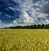 image of cloud forest  - Green wheat field on the background of the forest and the sky with clouds - JPG