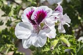 pic of geranium  - Geranium flowers Pelargonium spring time - JPG