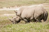 picture of rhino  - Full view of a white rhino in thick green grass at lake Nakuru Kenya - JPG