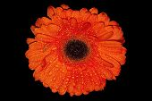 picture of gerbera daisy  - Orange bright gerbera daisies with black background - JPG