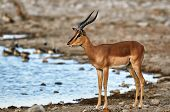 picture of male face  - Male of black faced impala at a waterhole in Etosha National Park - JPG