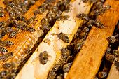 image of working animal  - Busy bees close up view of the working bees on honeycomb - JPG