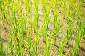 picture of rice  - Sprouts of rice in the rice terraces in the Philippines - JPG