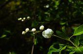 stock photo of jasmine  - Jasmine bush blooming in the sprig time garden - JPG