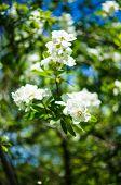 image of jasmine  - Jasmine bush blooming in the sprig time garden - JPG
