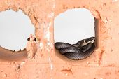 stock photo of ringneck  - Timid nocturnal ring neck snake hiding in brick cavity in North Carolina - JPG