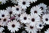 image of daisy flower  - White daisy flowers - JPG