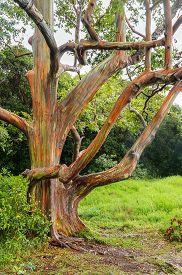 foto of eucalyptus trees  - Rainbow Eucalyptus Trees in rain - JPG