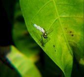 foto of mayfly  - macro  - JPG