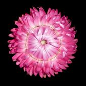 Single Pink Strawflower, Helichrysum Bracteatum Isolated On Black