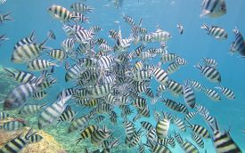image of sergeant major  - Shoal of sergeant major damselfish Abudefduf saxatilis on a tropical coral reef - JPG