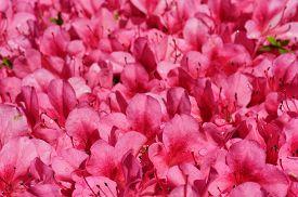 stock photo of azalea  - Satsuki azalea  - JPG
