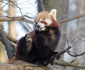 foto of panda  - red panda against a natural tree background - JPG