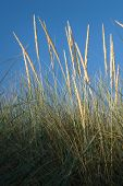Marram Grass On Sand Dune