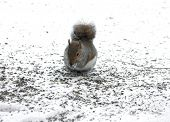 Cute Squirrel Forageing For Food In The Snow poster