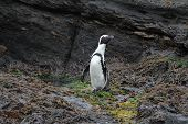 picture of jackass  - Jackass Penguin standing on Halifax Island close to Luderitz - JPG
