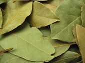 Bay Leaves Close-Up