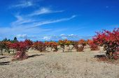 Claret red apricot orchard with blue sky