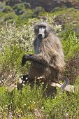 Chacma Baboon Sitting In Fynbos
