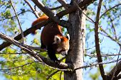 Red Panda Climbing Down Tree.  Ailurus Fulgens