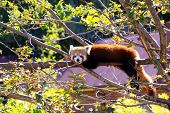 Red Panda Poking Its Tongue Out While Resting On Tree Branch.  Ailurus Fulgens