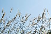 The plants of Miscanthus sinensis against blue sky
