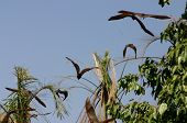 picture of rabies  - monster bats late afternoon at kakadu national park - JPG