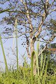 Macaco na selva Chitwan
