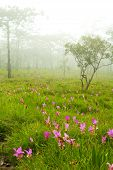 Wild Flower Siam Lily 2