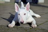 Young white Bull Terrier.