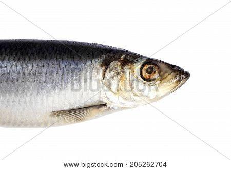 Herring fish isolated