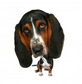 stock photo of bobble head  - a baby bobblehead  basset hound - JPG