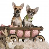 Chihuahua puppies, 3 months old, sitting in dog bed wagon with stuffed animals in front of white bac