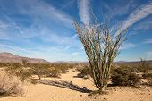 stock photo of ocotillo  - Ocotillo in the Sonora Desert part of Joshua Tree National Park California - JPG