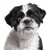 Close-up of Shih Tzu, 4 years old, in front of white background