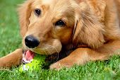 Golden Retriever com brinquedo