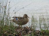 Female Mallard Duck at edge of lake