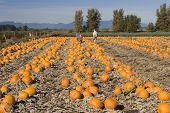 Pumpkin Farm In Cloverdale, British Columbia #2