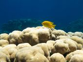 Yellow Fish on Coral