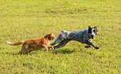 Ginger tabby cat chasing a young dog in high speed, with green grass background poster
