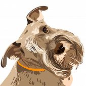 Vector Breed Miniature Schnauzer Dog Closeup